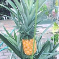 パイナップルの水耕栽培|時期や失敗しないコツは?ヘタから根っこが生える?の画像
