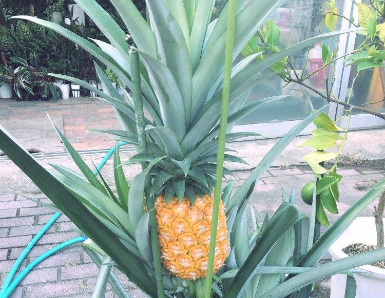 パイナップルの育て方|植え方や適した条件は?冬越しはできる?の画像