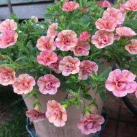 カリブラコアの花言葉|由来や花の特徴、色の種類は?の画像