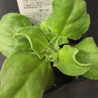 アイスプラントの育て方|種や苗から栽培する方法!水耕栽培できる?の画像