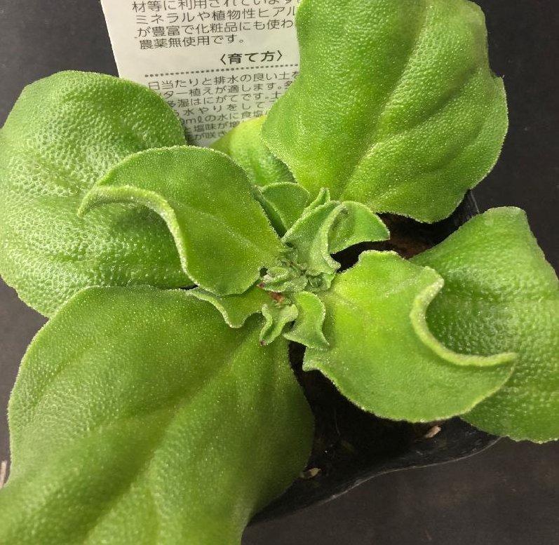 アイスプラントの育て方|種・苗からの栽培方法は?注意する病気は?の画像