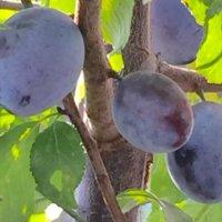 プルーンの育て方・栽培|苗木の植え付け、剪定、収穫の時期や方法は?の画像