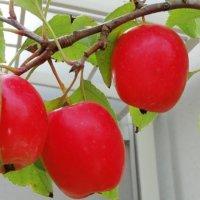 ヒメリンゴ(姫りんご)の育て方|苗木の植え替え時期は?剪定方法は?の画像