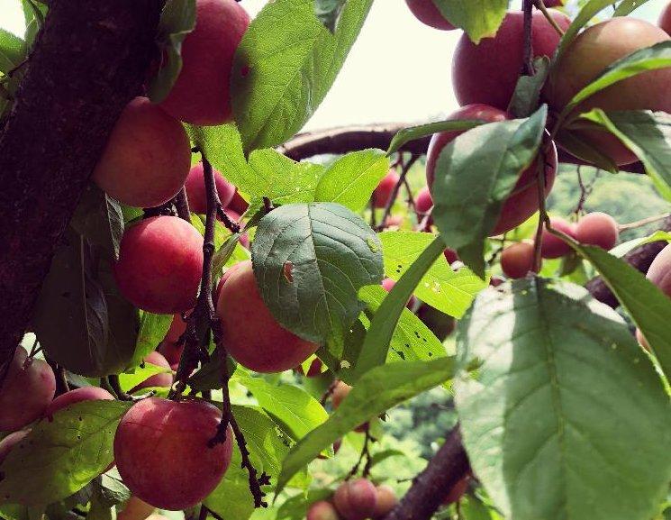 スモモの育て方|植え付けや収穫時期は?鉢植えでも栽培できる?の画像