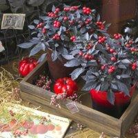 【タキイ種苗オリジナル品種】観賞用とうがらし『オニキスレッド』とはどんな植物?の画像