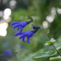 メドーセージの育て方|苗の植え付け時期や水やり頻度は?の画像