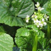 ワサビ(山葵)の育て方|畑や家庭菜園での栽培方法は?の画像