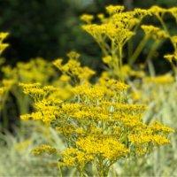 オミナエシ(女郎花)の育て方|種まきや植え替えの時期は?の画像