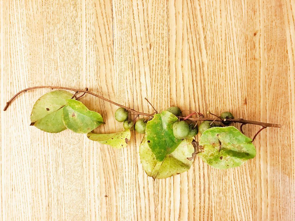 サルナシ(ベビーキウイ)の育て方|種まきや苗植え、収穫の時期は?の画像