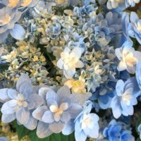 ハイドランジアの育て方|植え替えや剪定は必要?花が咲かない原因は?の画像