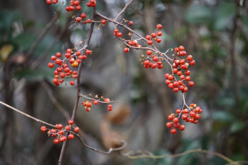 ツルウメモドキの育て方|種まきや挿し木での増やし方のコツは?の画像
