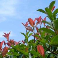 レッドロビンの花言葉|由来や花の特徴、生垣におすすめ?の画像