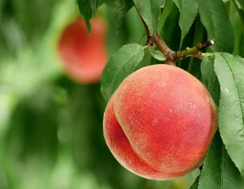 桃(モモ)の育て方|種まきや植え付けの時期は?剪定方法は?の画像