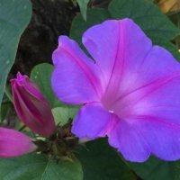 ノアサガオ(琉球朝顔)の育て方|苗の植え付け時期や増やし方は?の画像