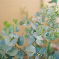 ユーカリ・グニーの育て方|土や水やりの方法、栽培のポイントは?の画像