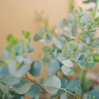 ユーカリの育て方|地植え・鉢植えの違いは?室内に置いてもOK?の画像