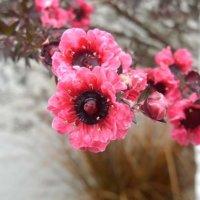ギョリュウバイの育て方|苗の植え付けや剪定、挿し木の方法は?の画像