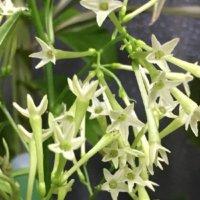 ナイトジャスミン(夜香木)の花言葉|花の特徴や意味、どんな香り?の画像
