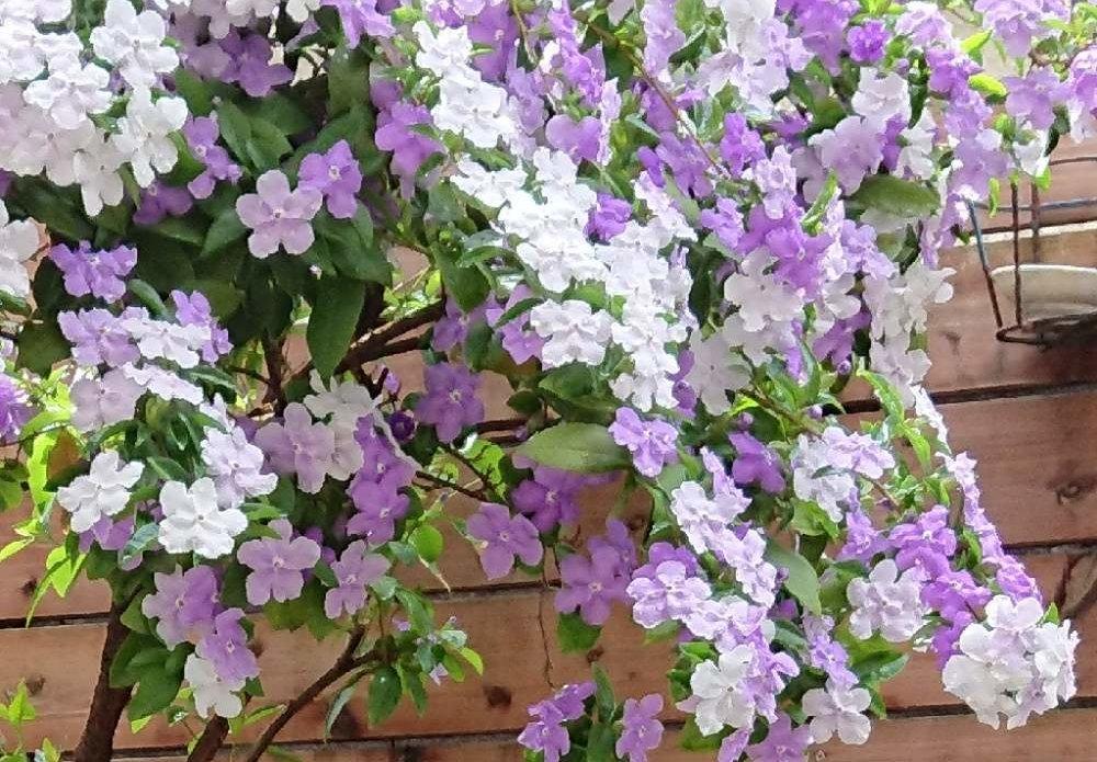 ニオイバンマツリの育て方|適した土と気温なら年中花を楽しめる?の画像