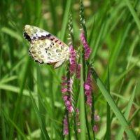 ネジバナ(捩花)の育て方|種まきや植え替え時期は?の画像