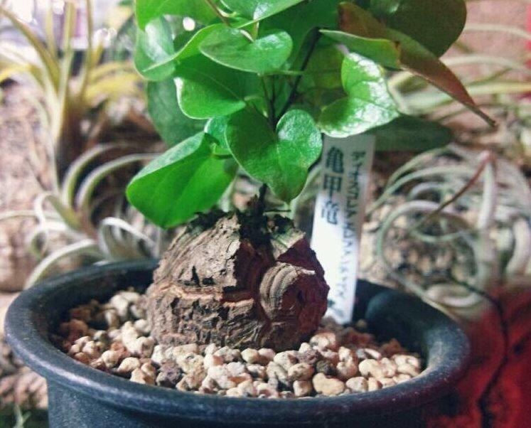 亀甲竜の育て方の画像