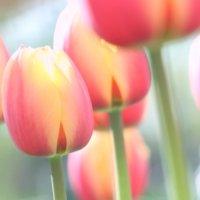 チューリップの育て方|球根の鉢植えでの植え方や植える時期は?の画像