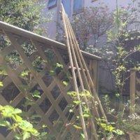 オリーブの育て方|手入れや収穫の時期は?室内やベランダでも栽培できる?の画像