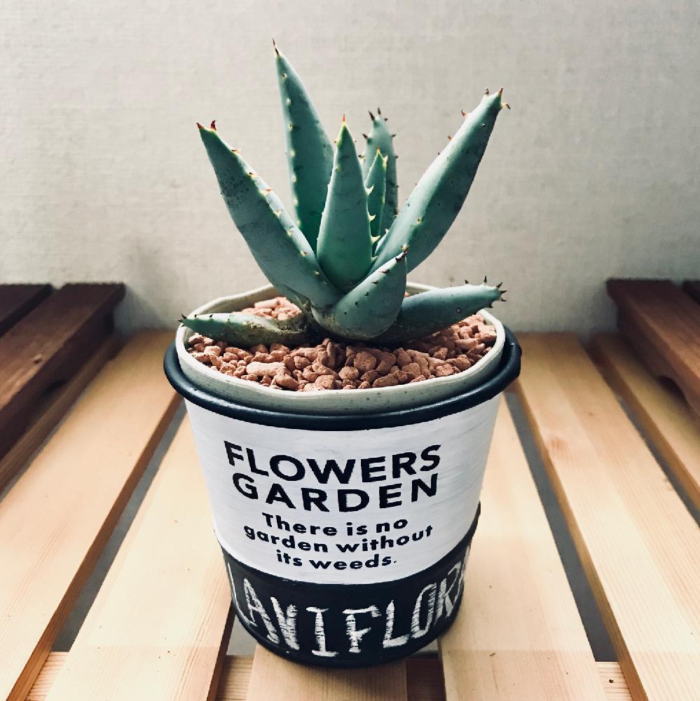 アロエ・クラビフローラの画像、Photo by 風の盆栽さん