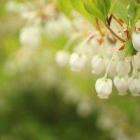 ドウダンツツジの育て方|植え替えや肥料の時期は?鉢植えもできる?の画像
