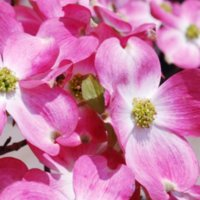 ハナミズキの育て方| 植え付けや植え替えの時期は?冬も肥料は必要?の画像