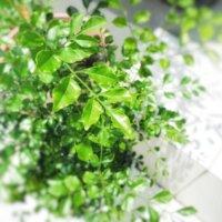 シマトネリコの育て方|植え替えや挿し木の方法は?室内でもOK?の画像