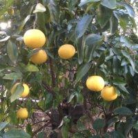 グレープフルーツの育て方の画像