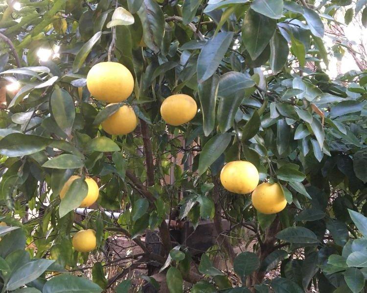 グレープフルーツの育て方|種まきや収穫の時期は?剪定は必要?の画像