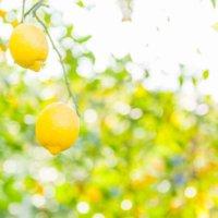 レモンの木の育て方|肥料の頻度、収穫時期は?鉢植え栽培がかんたん?の画像