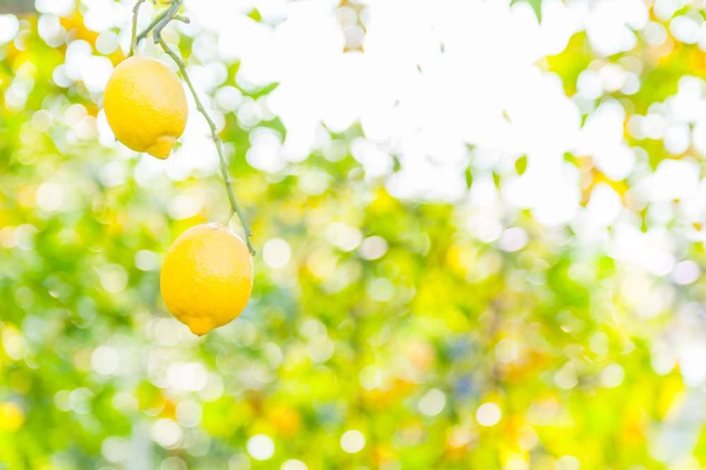 レモンの育て方の画像