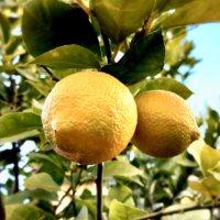 レモンの木の剪定|時期や方法は?収穫量をあげるコツはなに?の画像