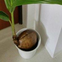 ココヤシの育て方の画像