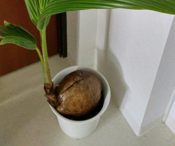 ココヤシの育て方|植え替えや種の植え方は?室内で育てる方法は?の画像