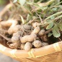 落花生の育て方|種まきや水やりの方法は?プランター栽培もできる?の画像