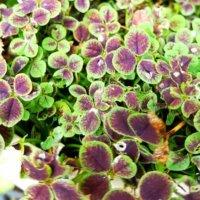 ブラッククローバーの育て方|種まきや植え替えの時期は?の画像