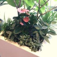 ケンチャヤシの育て方|植え付けや植え替えの時期、水やりの方法は?の画像