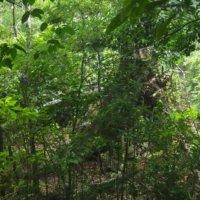 オキナワウラジロガシの育て方 水やり頻度は?栽培のコツは?の画像