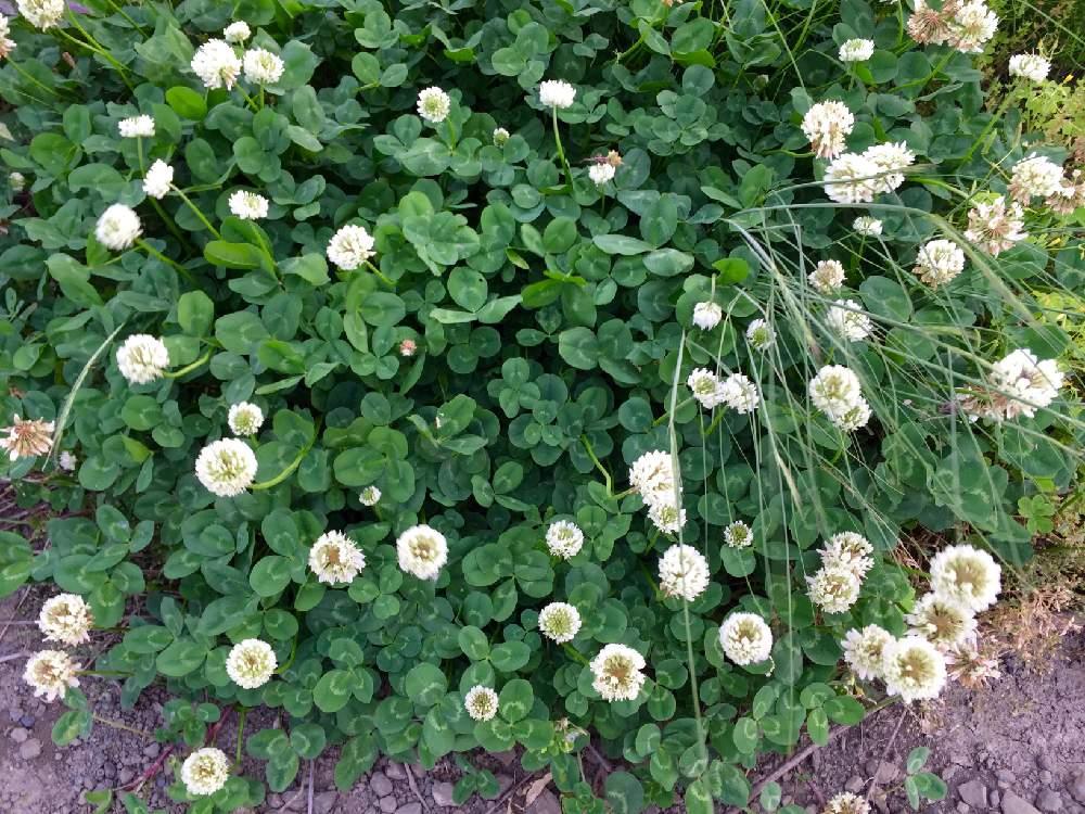 シロツメクサ(クローバー)の育て方|種まき時期は?室内でも栽培できる?の画像