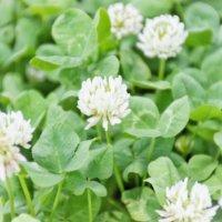 緑肥とは|効果や緑肥作物はどんな植物がある?の画像