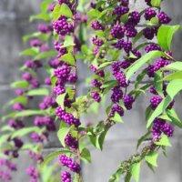 ムラサキシキブ(紫式部)の育て方|花や実がなる時期は?植え付ける場所は?の画像