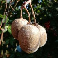 キウイフルーツの育て方の画像
