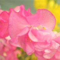 スイートピーの育て方|種まきや植え付けの時期は?の画像