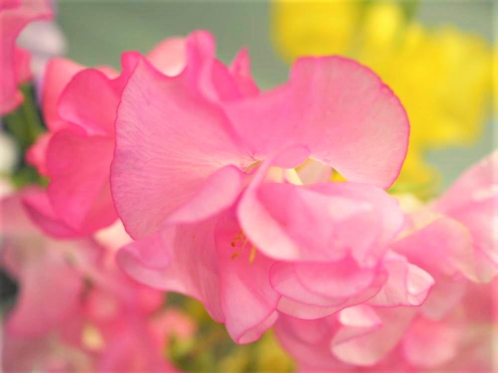 スイートピー 花 言葉 【誕生花と花言葉】絶対に覚えておきたい各月ごとのお花をご紹介