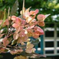 ドドナエアの育て方|植え付けや植え替えの時期は?剪定方法は?の画像