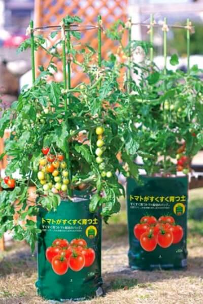 トマト 栽培 方法 ミニ
